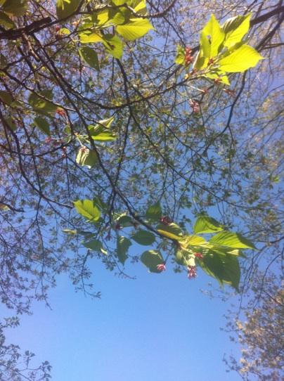 041410葉桜.jpg